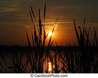 solnedgång, med, cattail