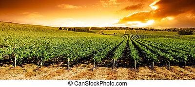 solnedgång, vingård, panorama