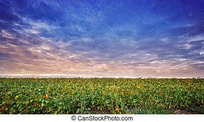solnedgångsky, skyn, fält