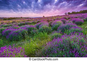 solnedgang, hen, en, sommer, lavendel felt, ind, tihany,...