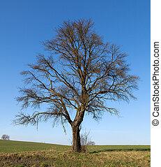 solo, árbol grande, en, pradera