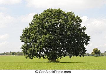 solo, árbol, roble
