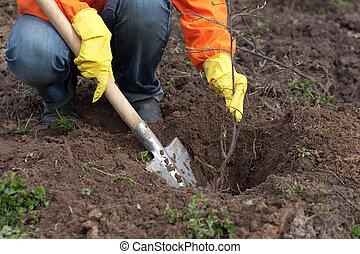 solo, árvore, resetting, jardineiro