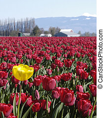 single yellow tulip among red