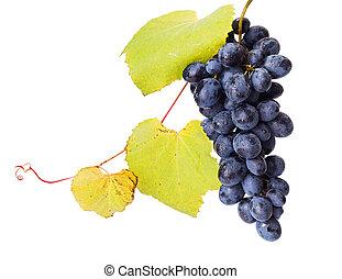 solo, azul, uva, grupo, con, hojas