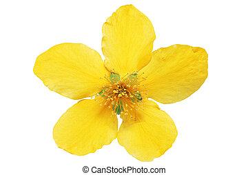 solo, botón de oro, amarillo, wildflowers, aislado, .