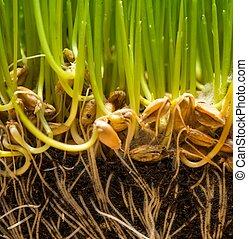 solo, com, sementes, e, raizes, de, fresco, grama verde