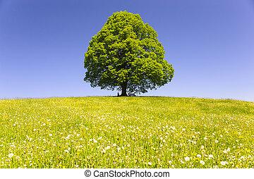 solo, grande, viejo, tilo, árbol, aislado, en, pradera, en, primavera