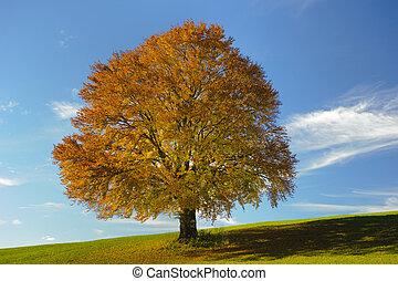solo, haya, en, otoño