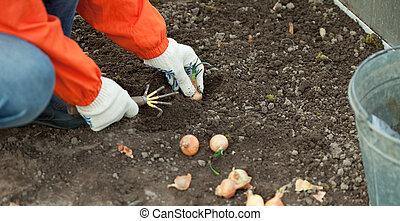 solo, jardineiro, cebola, conjuntos