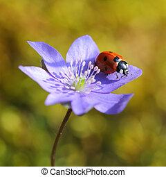 solo, mariquita, en, flor violeta, en, primavera