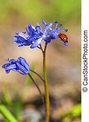 solo, mariquita, en, violeta, bellflowers, en, primavera