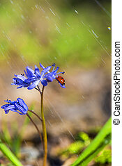 solo, mariquita, en, violeta, bellflowers, en, primavera, durante, lluvia