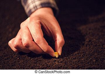 solo, milho, mão, campo, cultivável, femininas, agrícola, semeando