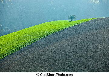 solo, olivo