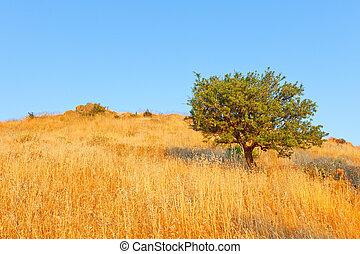 solo, olivo, en, pradera