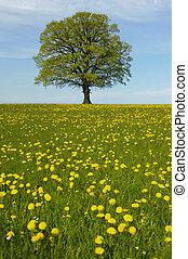 solo, tilo, árbol, en, primavera, en, pradera