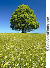 solo, tilo, árbol, en, primavera