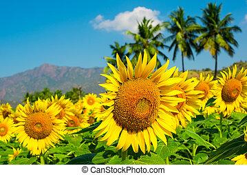 solsikke felt, grumset, træer, himmel blå, håndflade, bjerge