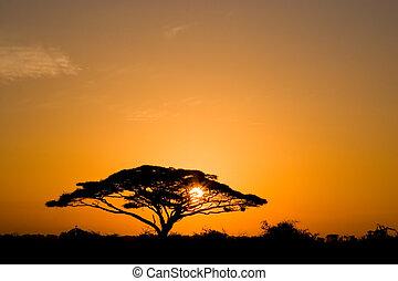 soluppgång, akacia träd
