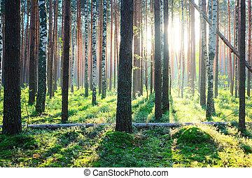 soluppgång, in, furuträ skog