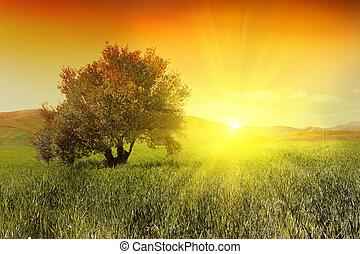 soluppgång, och, oliv träd