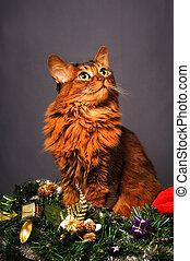 Somali cat ruddy color Christmas portrait at studio on grey background