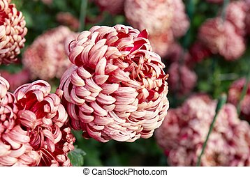 sombre, chrysanthemums., rouges