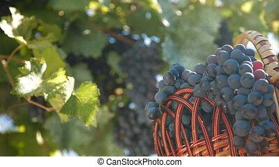 sombre, frais, bleu, récolte, raisins