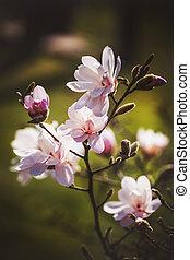 sombre, magnolia, fleur, parc, fond