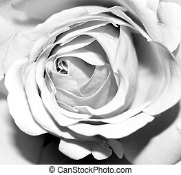 sombre, rose