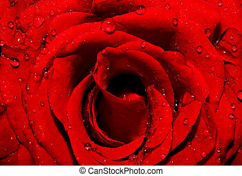 sombre, rose rouge