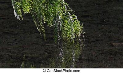 sombre, souffler, branches, saule pleureur, arbre, feuilles, -, eau, arrière-plan vert, toucher, fort, vent