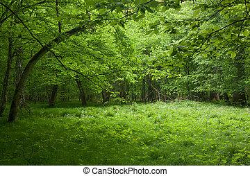 sombrio, springtime, decíduo, levantar, bialowieza, floresta