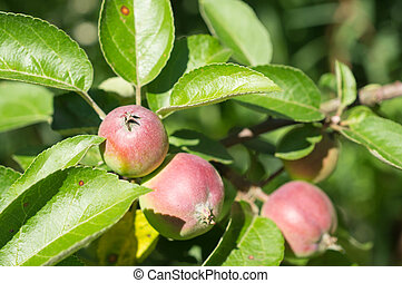 Some apples in a garden shined with the sun