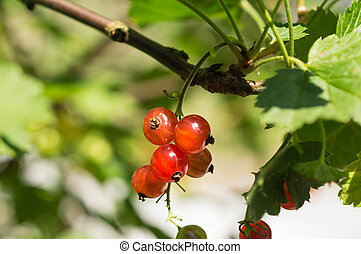 Some berries of red currant in a summer garden