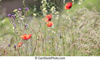 Some blossoming poppies among a grass