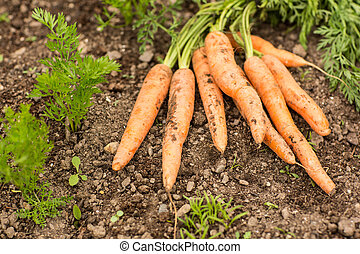 Some carrots lying on the ground surrounded by green plants