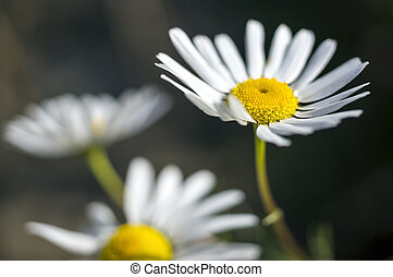 Some chamomile flowers