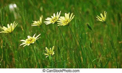 Some daisy flowers moving on wind in the grass in slow...