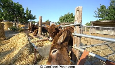 Some donkeys eating hay on a farm on Cyprus island - Some...