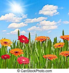 gerberas in a meadow on a sunny day