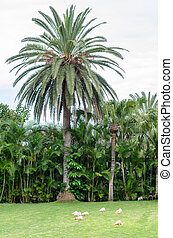 some greater flamingos on a green meadow, large palm tree in the background