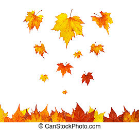 Some maple leaves falling