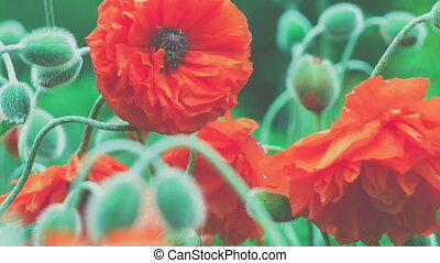 Some of decorative red poppy flower in spring day, close up,...