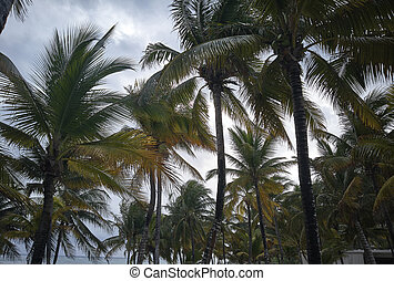 Some palm trees typical of the Mexican Caribbean