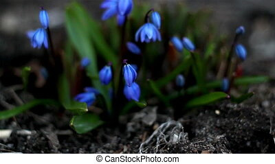 Some petals of blue crocus plant