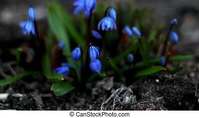 Some petals of blue crocus plant