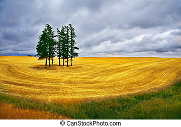 Some pines in Montana - Huge field and some pines in Montana...