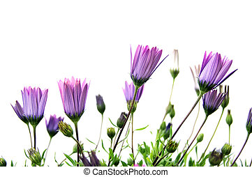 some purple wildflowers isolated on a white background